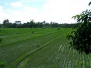 Emerald paddy field near Ubud