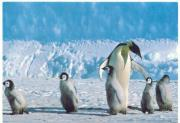 mother penguin shows the way to her children