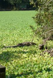 An alligator enjoys the  sun - inside Tubarao!