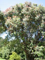 a kiwi christmas tree - large pohutakawa in full bloom