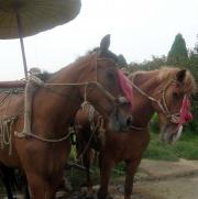 Can you imagine being fully tacked and tied to a chariot that never moves? Poor poor creatures.