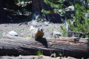 A Marmot watches hikers in Toulumne Meadows