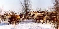 Reindeer competition. All Siberia will participate